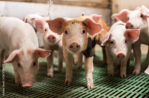 Piglets playing in barn Canvas Print