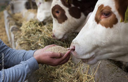 Farmer giving granules to cows Canvas Print