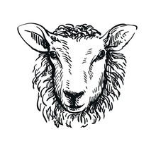 Drawing Of Sheep's Head In Full Face On White Background