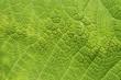 grüner Pflanzen Hintergrund gerippt mit Blattadern