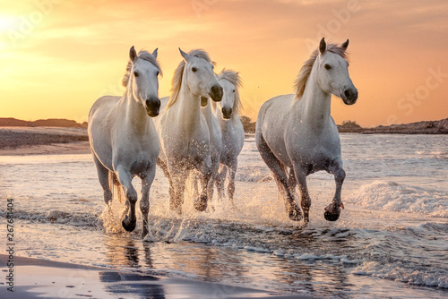 La pose en embrasure Chevaux White horses in Camargue, France.