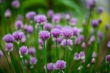 Beautiful Purple Blossoms Of C...