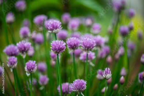 Beautiful purple blossoms of chives blooming - 267684099