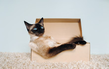 Rest Of A Cat In A Cardboard Box. Depression And Apathy. Siamese Cat Boss. Sated And Sleepy Animal. Funny Photo. Angry Leader.