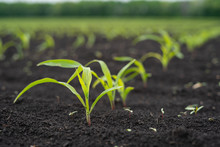 Farmer Field With Small Young Sprouts Corn