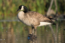 Canada Goose Perched On Log Ov...