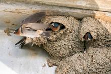 Swallow Birds Building Mud Nests