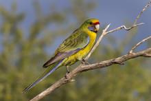 Green Rosella Parrot