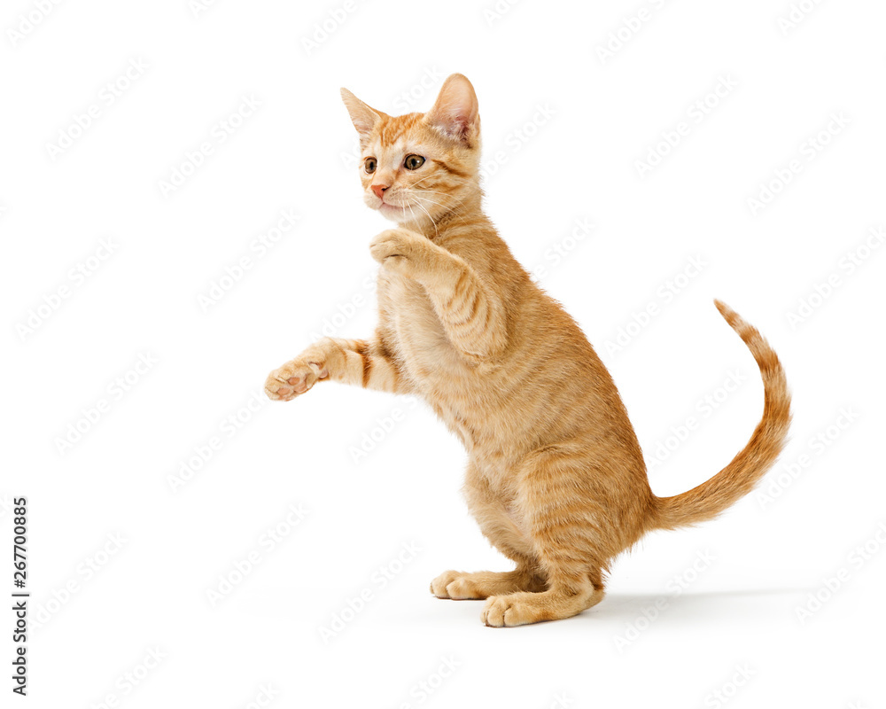 Fototapeta Frisky Orange Kitten Standing Side Playing