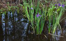 Purple Louisiana Iris Flowers Growing Wild In Dark Reflective Swamp Water