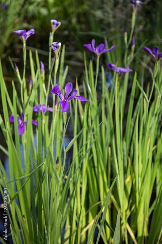Photo Closeup portrait of purple Louisiana iris flowers growing in dark bayou swamp wa