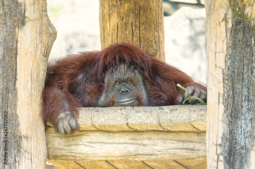 obraz lub plakat Portrait of cute big Orangutan looking to camera and smile.The wild brown red monkey, Orangutan found in jungle rainforests of Borneo and Sumatra.Pongo pygmaeus.