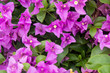 canvas print picture - Blooming bougainvillea background. Purple magenta flowers.