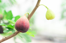 Closeup Fig Fruit On Tree Branch, Selective Focus