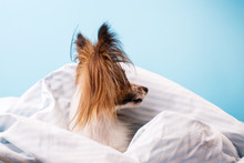 Dog In Bed Wrapped In A Blanket In Profile