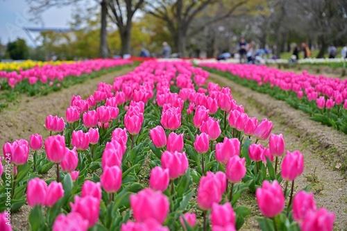 満開のピンクのチューリップ咲く公園