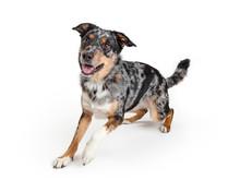 Active Australian Shepherd Crossbreed Dog