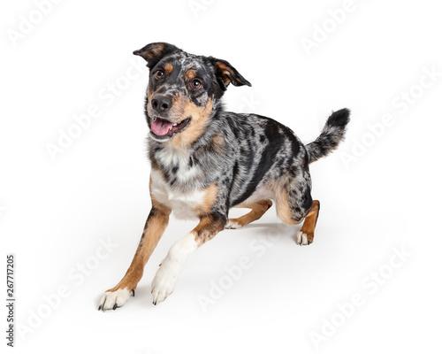 Vászonkép Active Australian Shepherd Crossbreed Dog