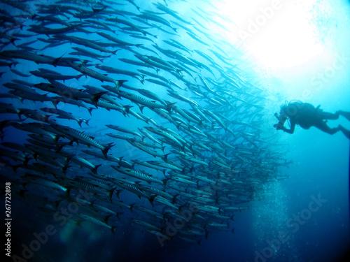 Photo ダイビング バラクーダの群れ ダイバー