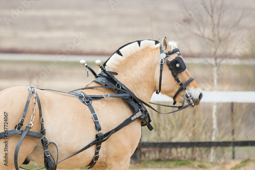 Fototapeta Horse in carriage harness with blinders. Portrait of Norwegian fjord pony close up obraz