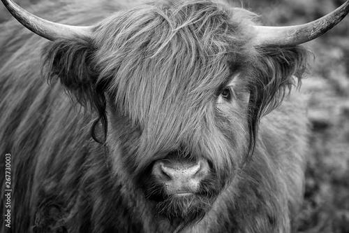 Fototapety, obrazy: Scottish Highland Cow, Highlander, Scotland