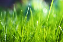 Green Grass Background. Summer Background. Fresh Morning Nature