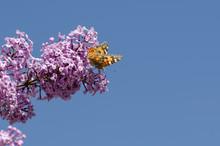 Butterfly Vanessa Cardui On Li...