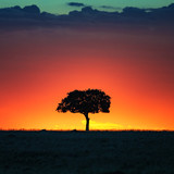 Fototapeta Sawanna - Acacia tree at sunset in the Masai Mara