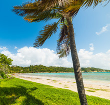 Palm Tree In A Paradise Beach In Guadeloupe