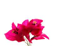 Pink Bougainvillea, Isolated O...