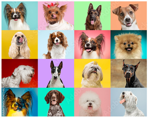Cadres-photo bureau Chien Little dogs are posing and looking in the camera. Cute doggies or pets are happy. The different purebred puppies. Creative collage isolated on multicolored studio background. Front view.