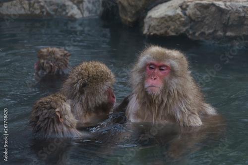 温泉に入るサル スノーモンキー