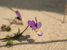 Endangered Plant Species Viola Tricolor Curtisii
