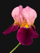 Bearded Iris, Pink And Deep Purple Maroon Isolated On Charcoal Grey. Beautiful Delicate Petals. Aka Iris Germanica.