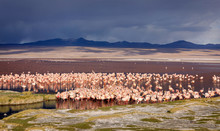 The Huge Colony Of James Flamingo In  Laguna Colorada, Altiplano. Bolivia. South America. This Photo Does Not Have  Grain And Posterization - These Are Sand On Foreground And Thunder (dirty) Clouds