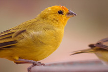 The True Canary Or Canary Of The Earth, (scientific Name: Sicalis Flaveola L.), Is Also Known In Brazil As Canary-da-horta, Canary-of-tile, Canary-of-the-field, Canary (2) Is A Species Of Bird Of The