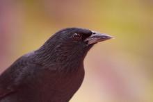 The Graúna Is A Bird Of The O...