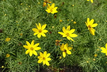 Star Shaped Yellow Flowers Of Coreopsis Verticillata