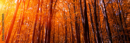 Foto op Canvas Baksteen Banner 3:1. Autumn treetops in fall forest. Sky and sunlight through the autumn tree branches. Autumn background. Copy space. Soft focus