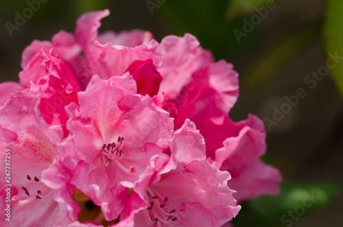 Spoed Fotobehang Roze シャクナゲの花