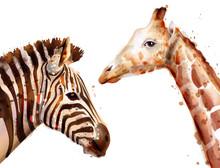 Zebra And Giraffe Vector Watercolor. Wildlife Safari Animals