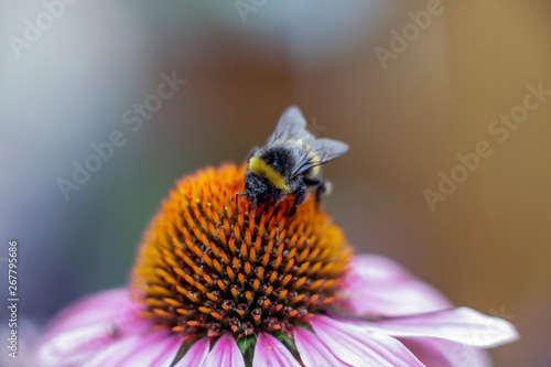 Stampa su Tela bumblebee collects nectar on echinacea flower