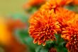 Leinwandbild Motiv Orange Mum Flower