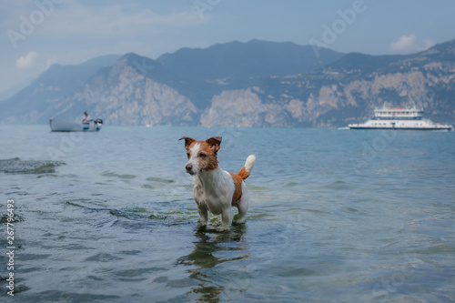 canvas print motiv - annaav : little Jack Russell Terrier plays in the water. Pet swims in the lake. Traveling with a dog