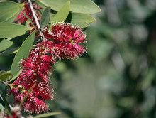Red Flowers Of The Broad-leaved Paperbark, Melaleuca Viridiflora, Family Myrtaceae. Native To Tropical Northern Australia And South East Asia.