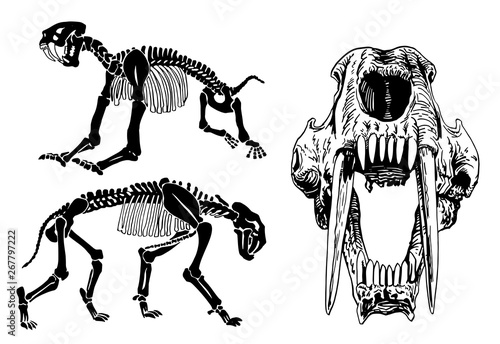 Graphical set of skeletons of saber-toothed tiger on white background,vector ill Canvas Print