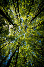 Looking Up Green Forest. Trees With Green Leaves, Blue Sky And Sun Light. Bottom View Background