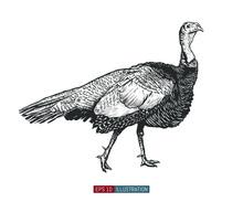 Hand Drawn Turkey Bird Isolate...