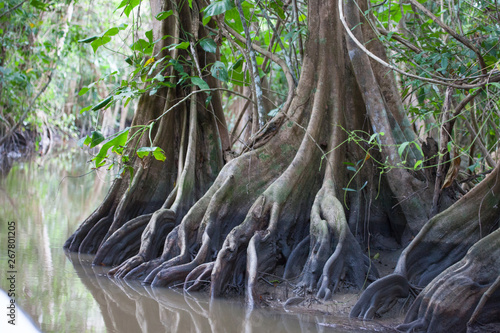 Spoed Foto op Canvas Grijze traf. The roots of trees in the water channel of the jungle of Guyana. Nature Of South America.