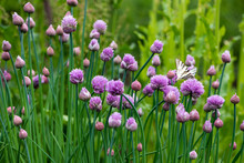Lush Flowering Chives In The Garden. Spring Vegetable Garden.